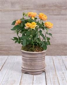 plants: Gratitude Yellow Rose Bush In Ceramic Pot!