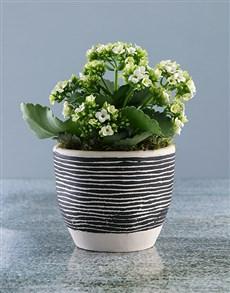 flowers: White Kalanchoe in Stripe Pot!