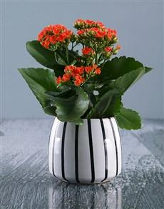 flowers: Vibrant Kalanchoe Plant in Ceramic Pot!