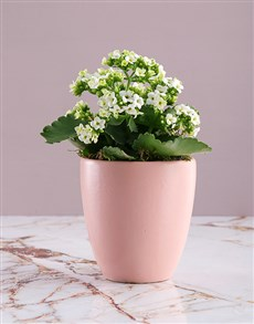 flowers: White Kalanchoe Plant in Pink Pot!