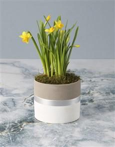 gifts: Dapper Daffodil in Pot!