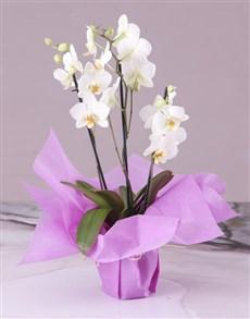 plants: Serene White Midi Orchid!
