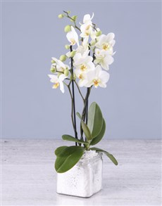plants: Soothing Midi Orchid!