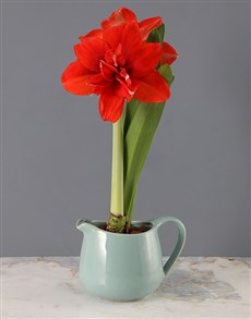 gifts: Red Amaryllis in Blue Jug!