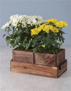 plants: Chrysanthemum Duo in Wooden Holder!