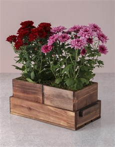 plants: Pink and Red Chrysanthemums in Wooden Holder!