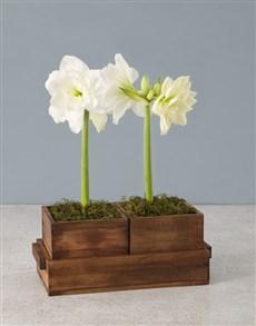 gifts: Seasonal Amaryllis in Wooden Box!
