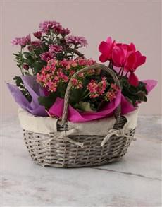 plants: Pink Cyclamen Floral Basket!