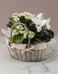 plants: White Cyclamen Floral Basket!
