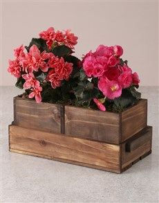 plants: Beautiful Begonias In Wooden Boxes!