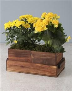 plants: Yellow Begonias And Chrysanthemums!