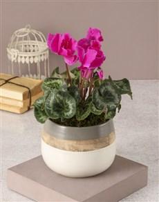 plants: Cerise Cyclamen In Rustic Pot!