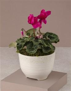 plants: Cerise Cyclamen In White Ceramic Pot!