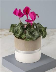 plants: Cerise Cyclamen In Stylish Pot!