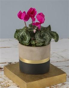 plants: Cerise Cyclamen In Striking Pot!