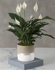 plants: Charming Spathiphyllum Pot Plant!