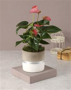 plants: Pink Anthurium In Stylish Pot!