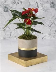 flowers: Red Anthurium In Striking Pot!