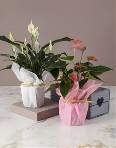 plants: Pink And White Anthurium Duo Crate!