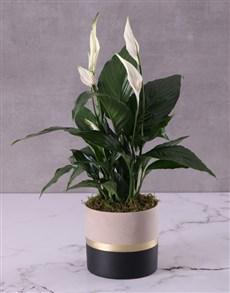 plants: Captivating Spathiphyllum Pot Plant!