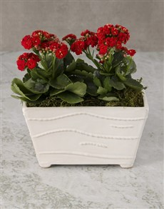 flowers: Kalanchoe In Ceramic Planter!