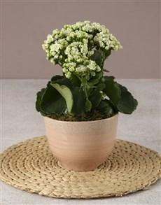 flowers: White Kalanchoe In Pink Ceramic Pot!