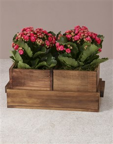 flowers: Kalanchoes In Nesting Crates!