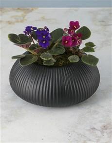 plants: African Violets In Black Ceramic Pot!