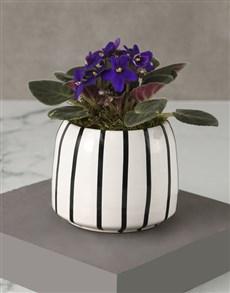 plants: African Violet In Striped Pot!