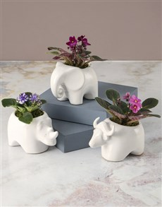plants: African Violet Zoo!