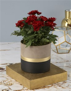 flowers: Chrysanthemums in a Cement Pot!