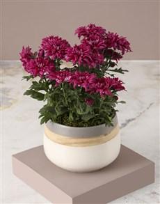 plants: Chrysanthemums in a Cream Pot!