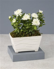plants: Chrysanthemums in a White Planter!