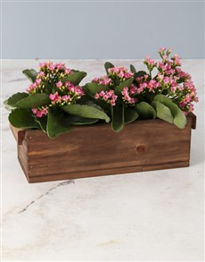 flowers: Kalanchoes In Wooden Crate!
