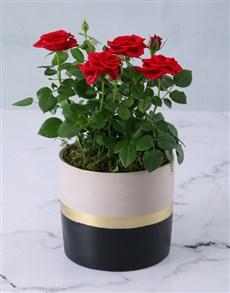 flowers: Regal Red Rose Bush!