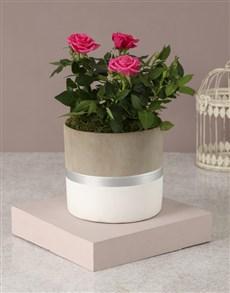 flowers: Picturesque Petals Rose Bush!