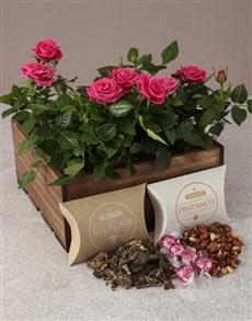 plants: Pink Paradise Rose Bush Hamper!