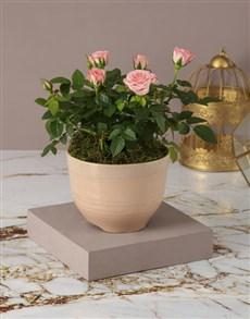 plants: Rose Bush Of Sophistication!