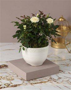 plants: Serene And Sophistcated Rose Bush!