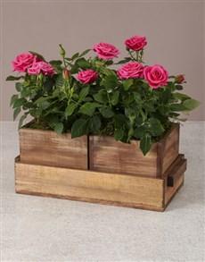 flowers: Gardeners Dream Rose Bush!