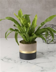 plants: Astonishing Asplenium Nidus!