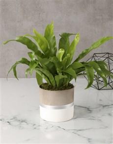 plants: Asplenium Nidus In Silver Striped Pot!