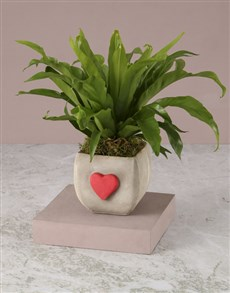 plants: Heartwarming Asplenium Nidus!
