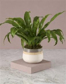 plants: Asplenium Nidus In Three Toned Pot!