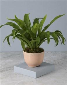 plants: Tickled Pink Asplenium Nidus!