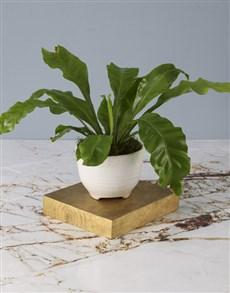 plants: Keep It Classic Asplenium Nidus!