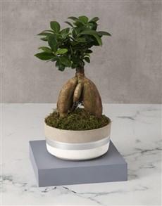 plants: Ficus in Striped Cement Pot!
