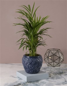 plants: Ocean Blue Love Palm!
