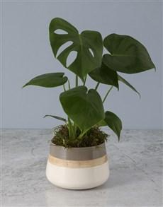 plants: Monsteria In Tri Toned Pot!