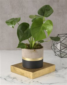 plants: Stylishly Rustic Potted Monsteria!